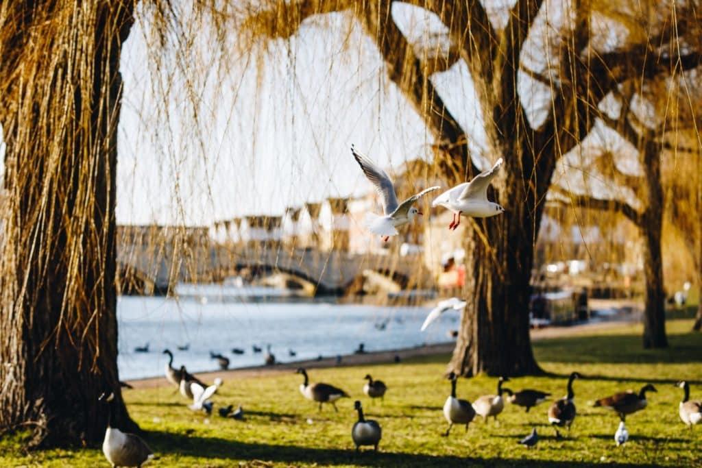 Birds flying in waterfront park in Peterborough , United kingdom